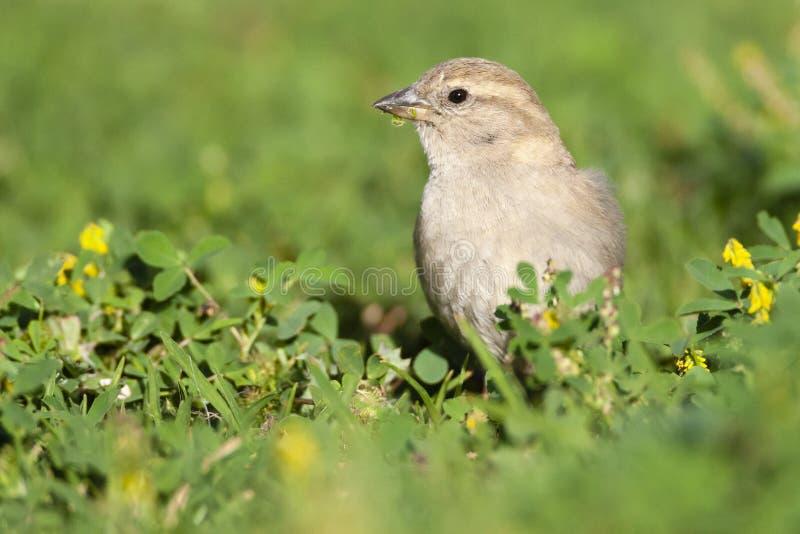Spaanse Mus, Spanish Sparrow, Passer hispaniolensis royalty free stock photos