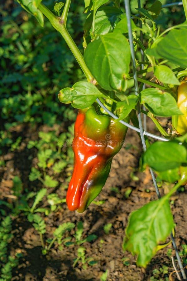 Spaanse peper het Groeien in een Tuin stock afbeeldingen
