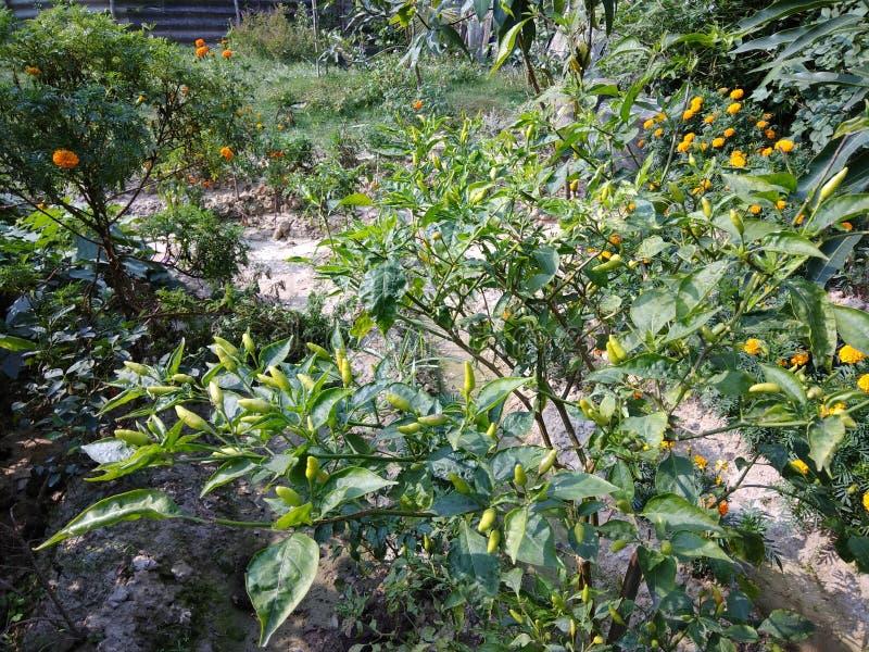 Spaanse pepersinstallatie in Tuin stock afbeelding