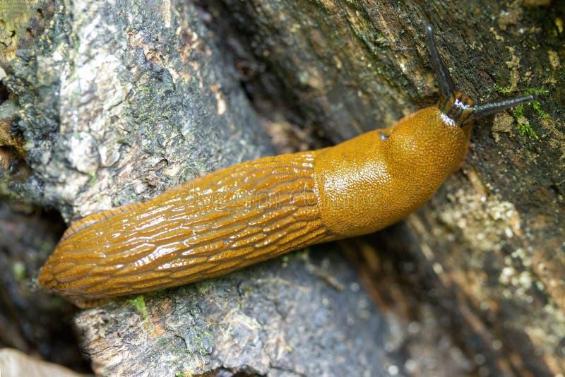 Spaanse vulgaris Arion van de naaktslak Rode kant van de weg, close-up Dierlijk geel tweekleppig schelpdier stock foto's