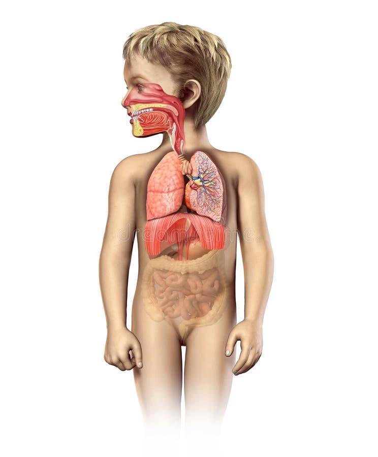 Spaccato pieno dell'apparato respiratorio di anatomia del bambino. royalty illustrazione gratis