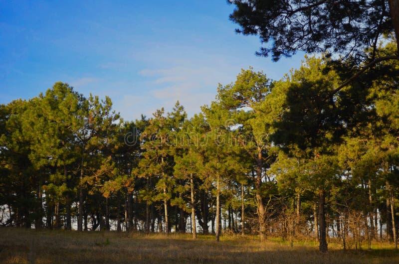 Spacer przez pogodnego sosnowego lasu zdjęcie royalty free