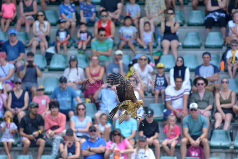 Spactators watching Whistling kite in Australia Zoo stock photo