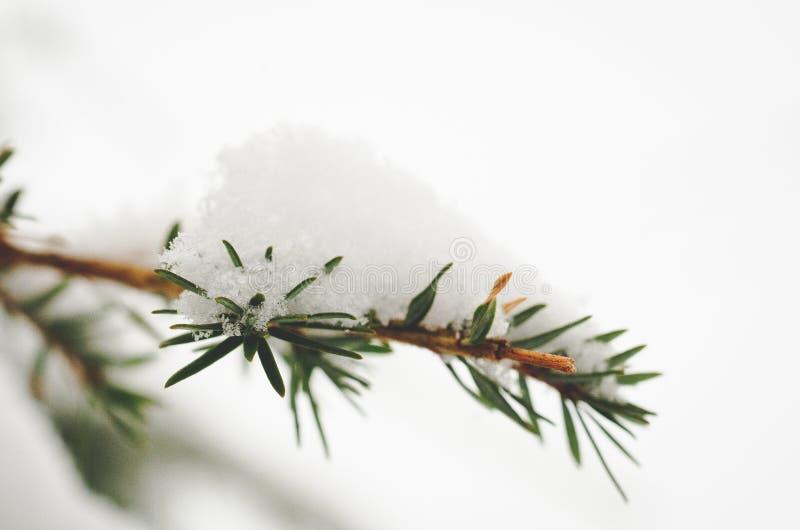 Spadać śnieg na sosen gałąź obraz stock