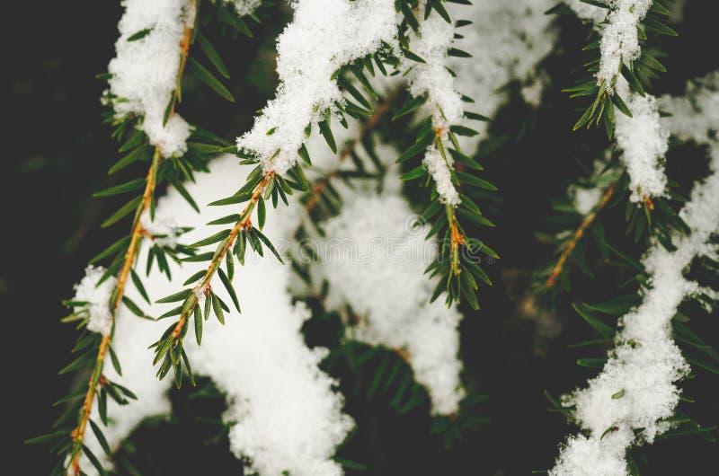 Spadać śnieg na sosen gałąź fotografia stock