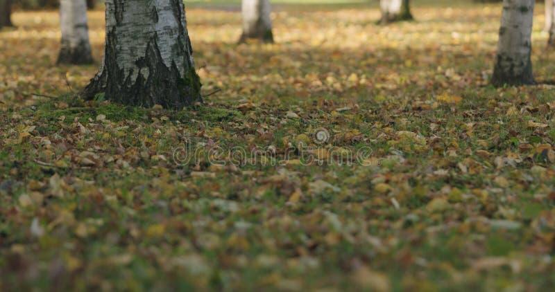 Spadać brzozy jesieni liście na trawie obraz stock