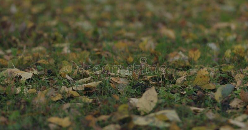 Spadać brzozy jesieni liście na trawie zdjęcia stock