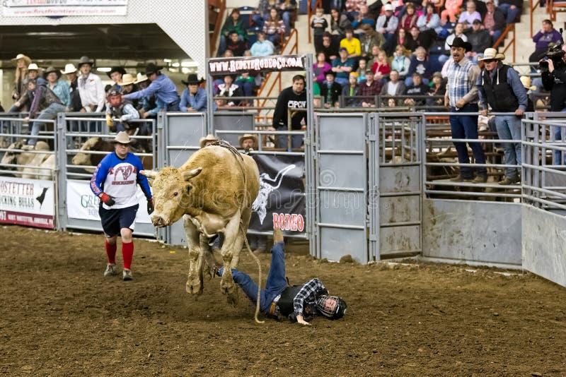 Spadać byka jeździec zdjęcia royalty free