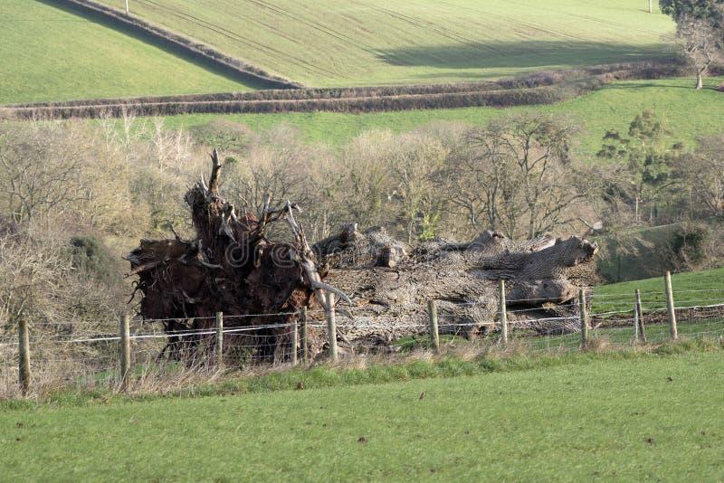 Spadać dębowy drzewo w wsi obraz stock