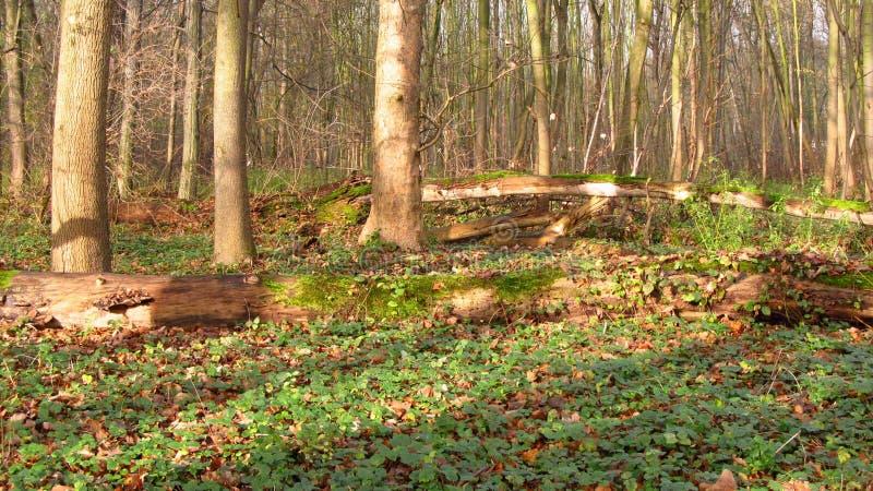 Spadać drzewa w jesieni floodplain lesie obrazy stock