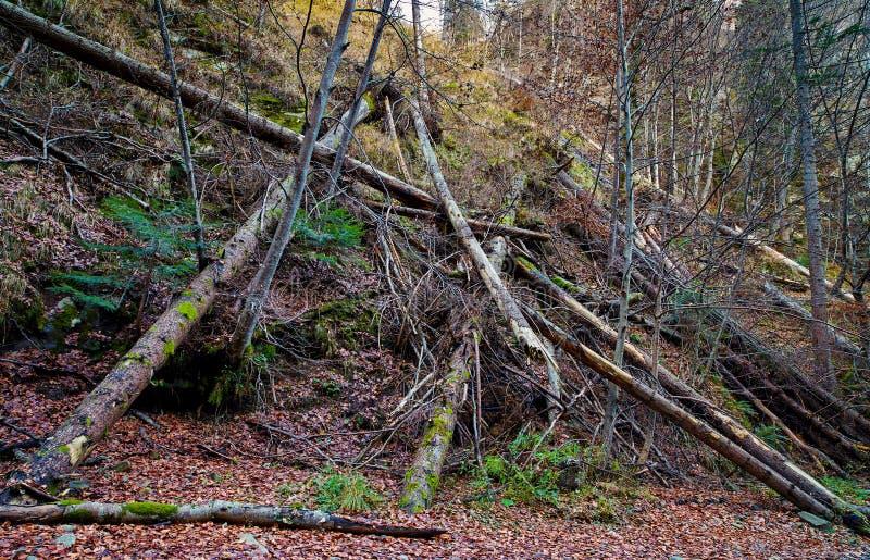 Spadać drzewa w lesie zdjęcia stock