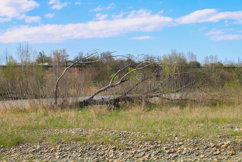 Spadać drzewny lying on the beach w banku jezioro z swój gałąź stronniczo zanurzał w wodzie obraz royalty free