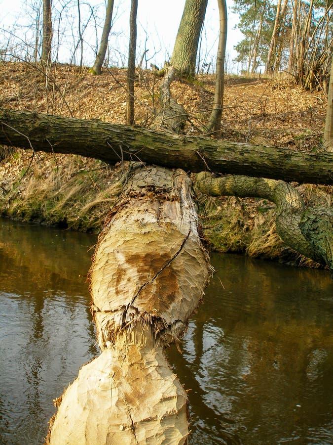 Spadać drzewo gryźć bobrem nad wąską rzeką zdjęcie royalty free