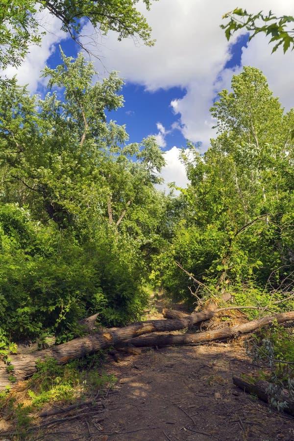 Spadać drzewo na lasowej ścieżce obrazy stock