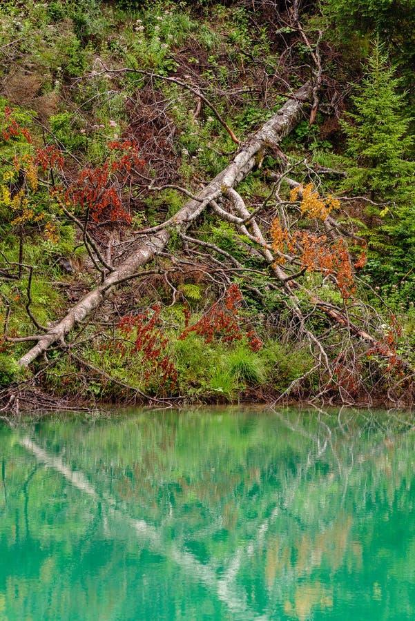 Spadać drzewo odzwierciedlający w wodzie obraz royalty free