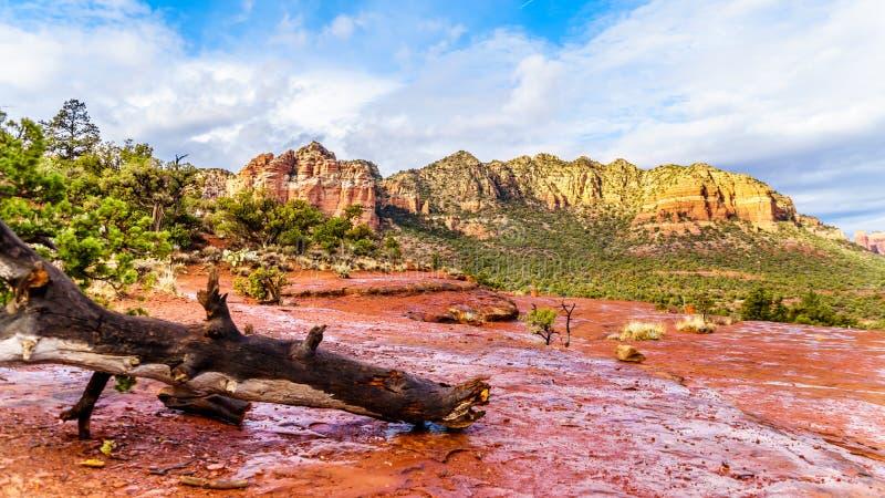 Spadać drzewo po tym jak podeszczowa burza na czerwonych skałach Coconino las państwowy z tłem, w kolorowa katedry skała obraz royalty free