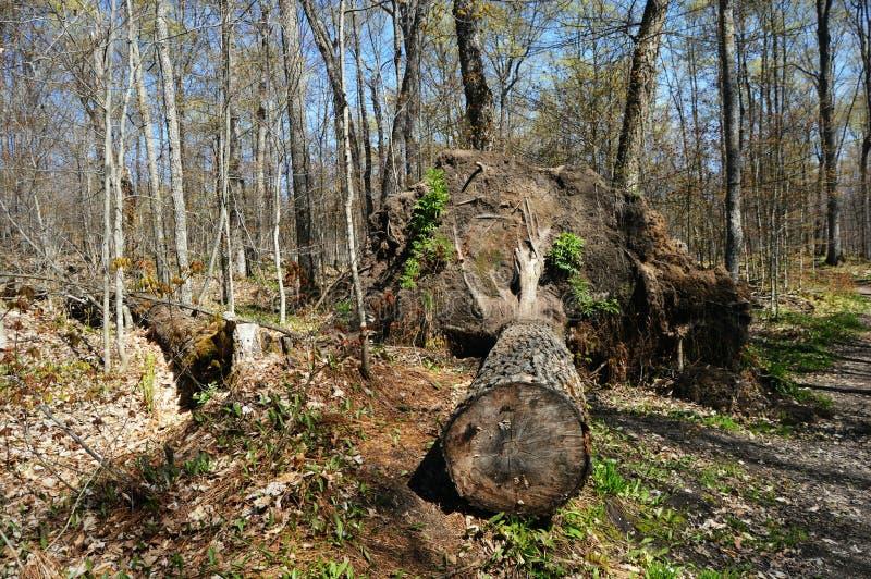 Spadać drzewo w lesie obrazy royalty free