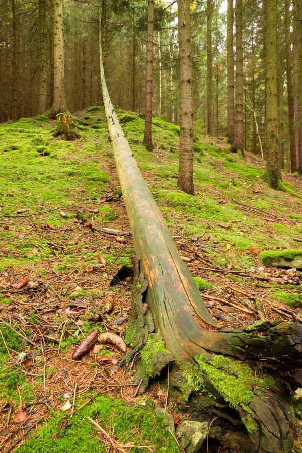 Spadać drzewo w zielonym lesie obrazy stock