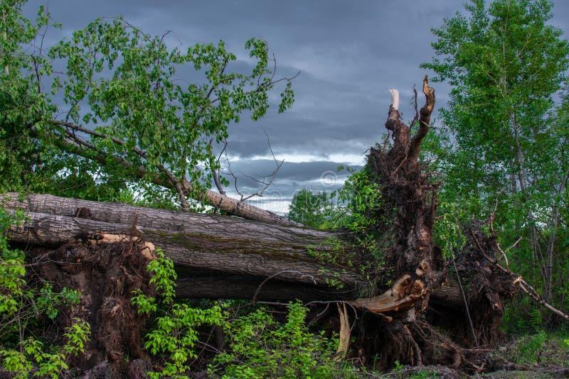 Spadać drzewo z dużymi korzeniami zdjęcie stock