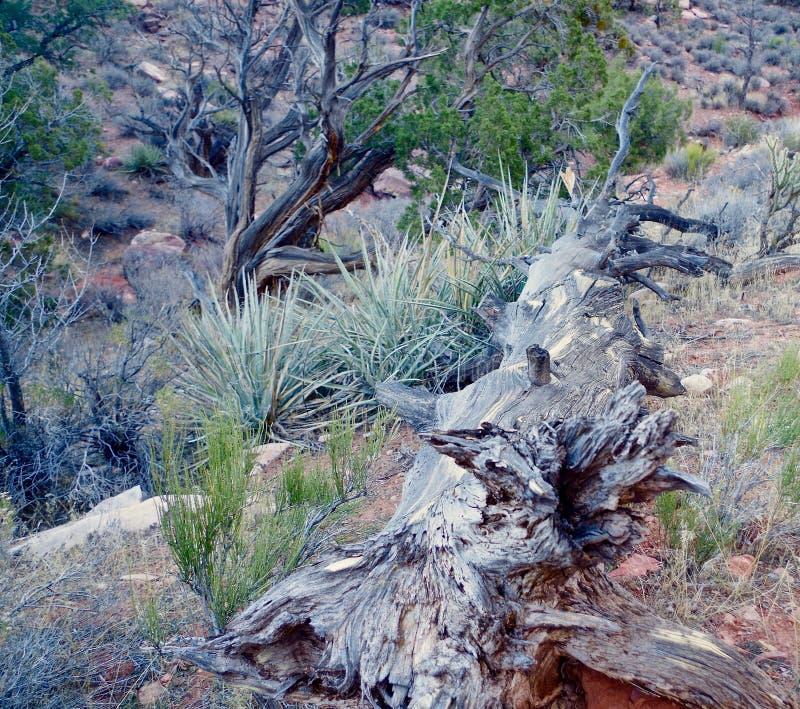 Spadać Gnijący drzewo, rewolucjonistka jaru Rockowy park narodowy, Nevada obraz stock