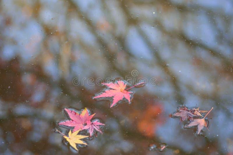 Spadać Japońscy jesień liście klonowi na stawowych wodach zdjęcie royalty free