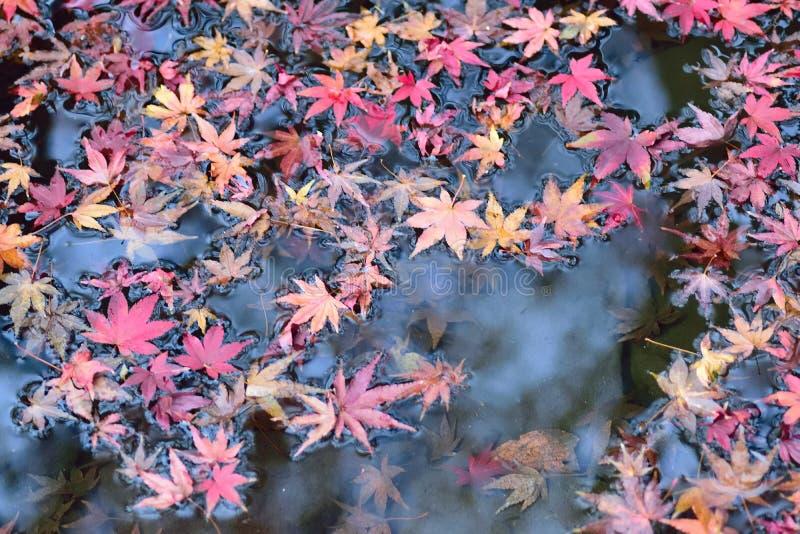 Spadać Japońscy jesień liście klonowi na stawowych wodach zdjęcie stock