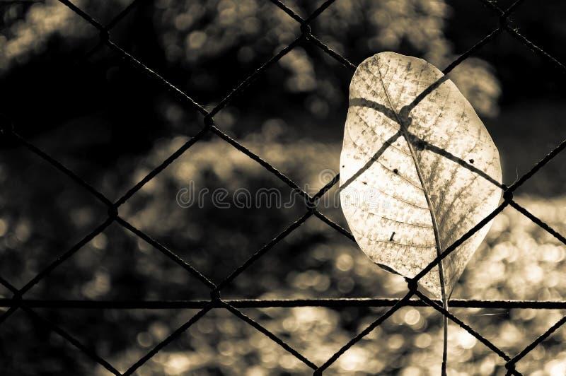 Spadać jesień orzecha włoskiego drzewa liść łapiący na ośniedziałym drucianej siatki ogrodzeniu obraz royalty free
