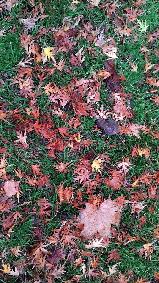 Spadać kolor żółty opuszcza na zielonej trawie w mieście Rumia fotografia stock