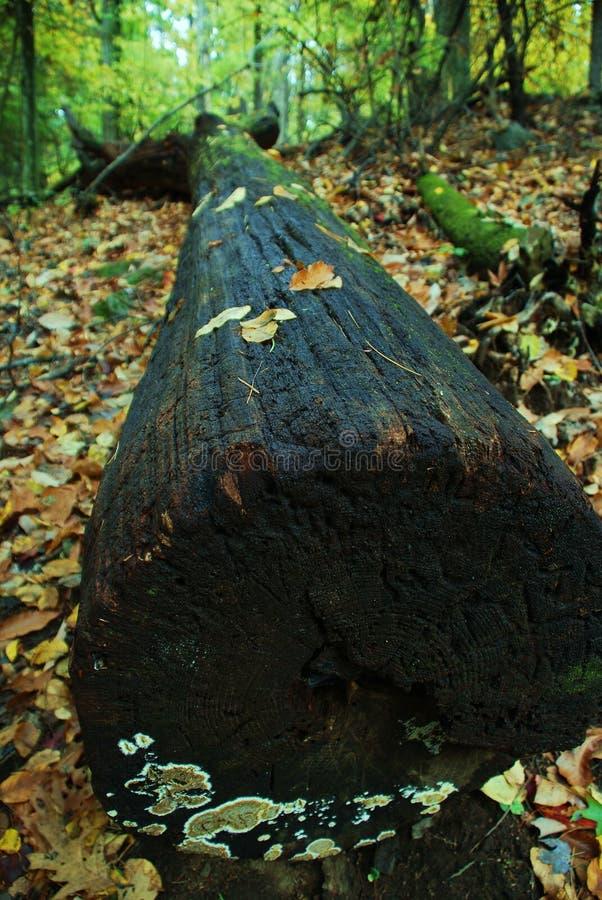 spadać lasowy drzewo fotografia stock