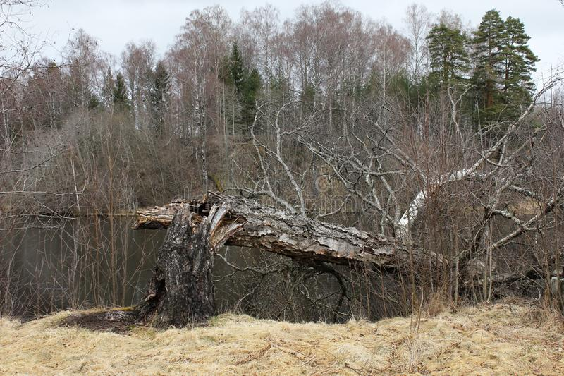 Spadać nieżywy drzewo zdjęcie royalty free