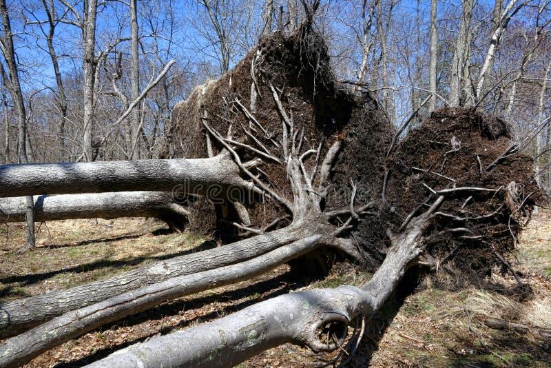 Spadać Wykorzeniający korzenie po Huragan i drzewa obraz royalty free