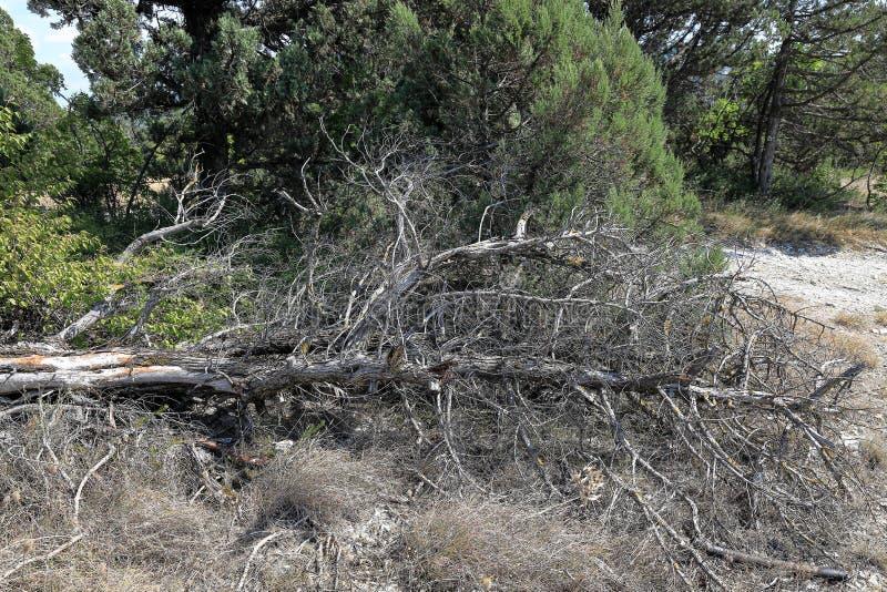 Spadać wysuszony jałowcowy drzewo w lesie blisko drogi zdjęcia stock