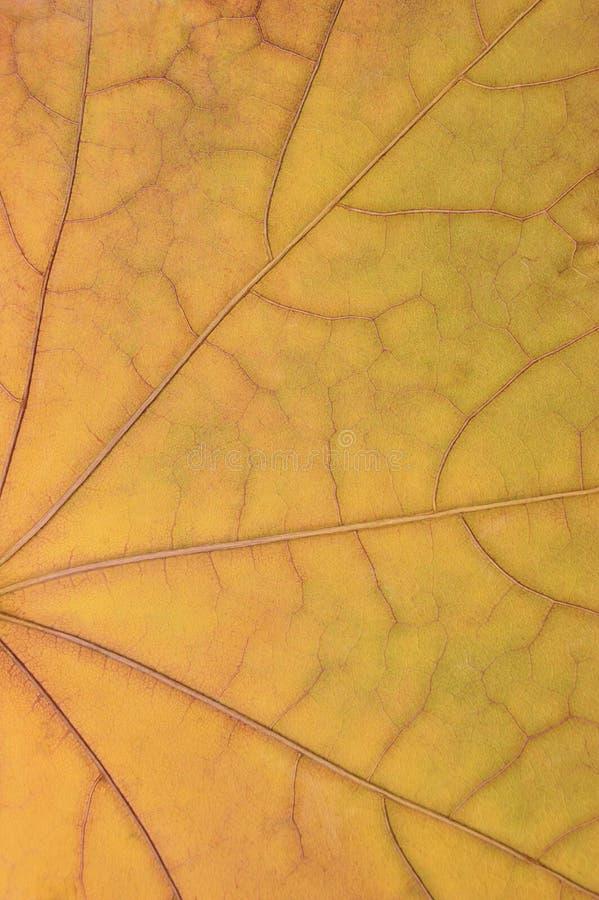Spadać złoty żółty liść klonowy tekstury wzór, jesień spadku grunge rocznika herbarium abstrakcjonistyczny tło, ampuła wyszczegól zdjęcia stock