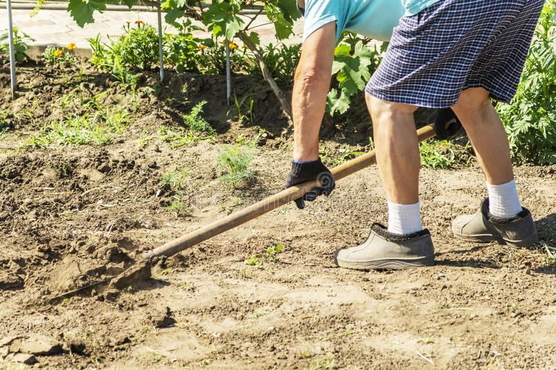 A spade in the act of digging into the soil. Senior farmer in rubber boots digging in the garden with spade. Working hands digging royalty free stock photos