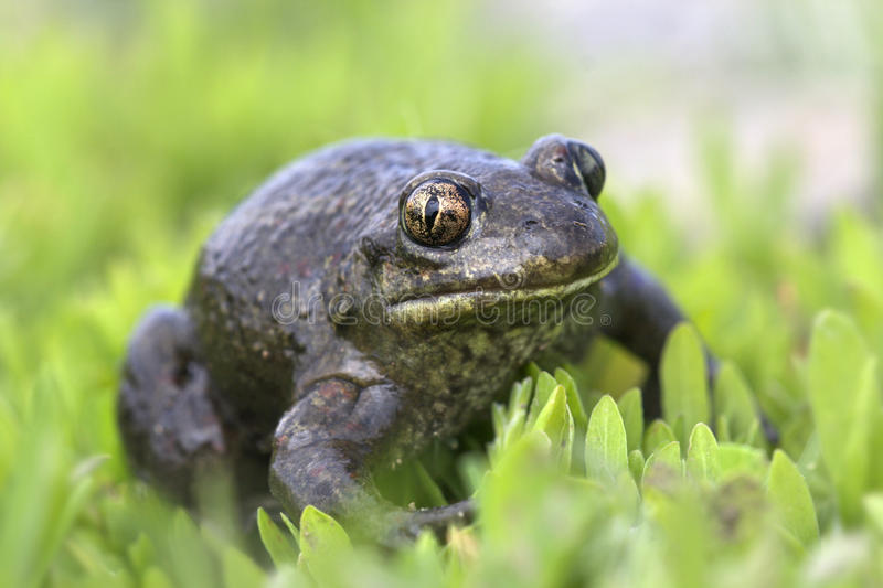 Spade foot toad - Pelobates fuscus royalty free stock images