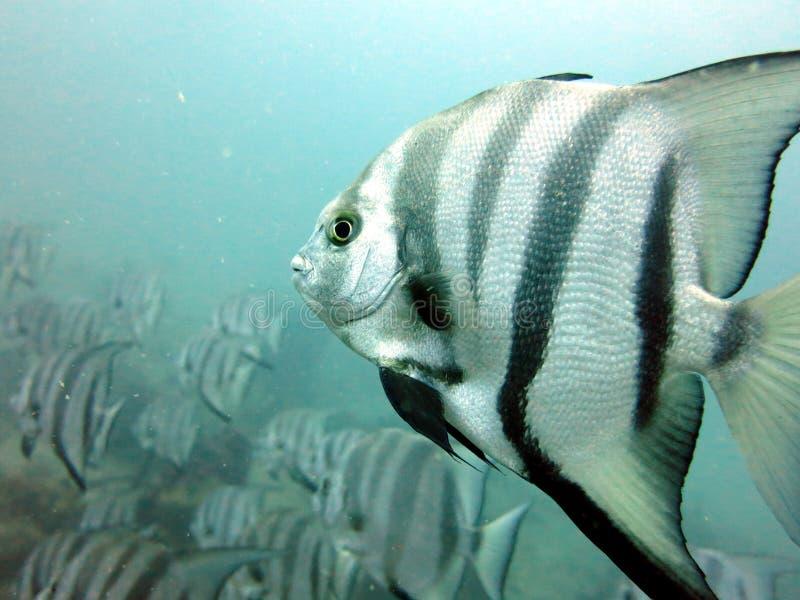 Spadefish arkivfoto