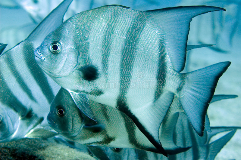 Spadefish. Atlantic Spadefish-Chaetodipterus faber, picture taken in south east Florida stock photo