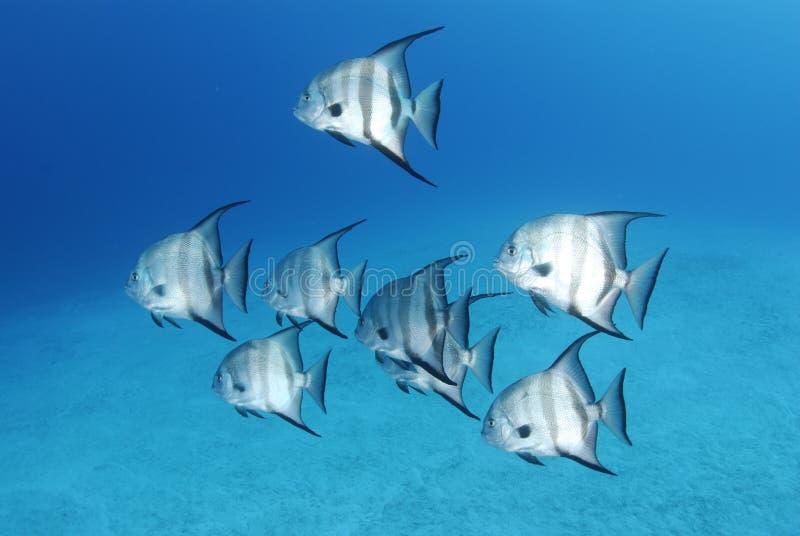 spadefish royaltyfria foton