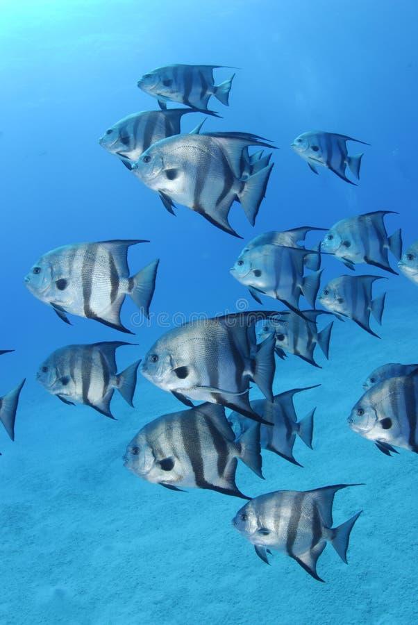 spadefish zdjęcie stock