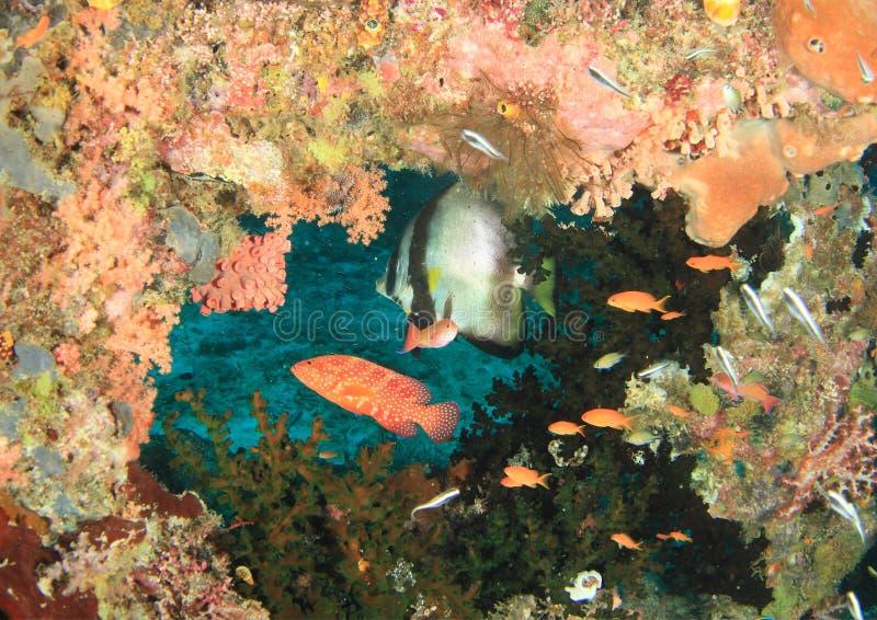 Spadefish Circural ψαριών και Grouper κοραλλιών στοκ φωτογραφία