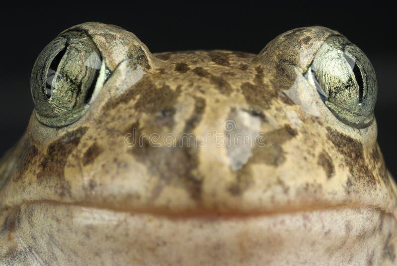 Spadefootpad, Pelobates cultripes, amfibie royalty-vrije stock afbeelding