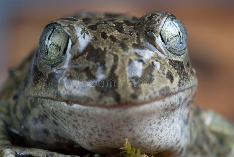 Spadefootpad, Pelobates cultripes, amfibie stock foto