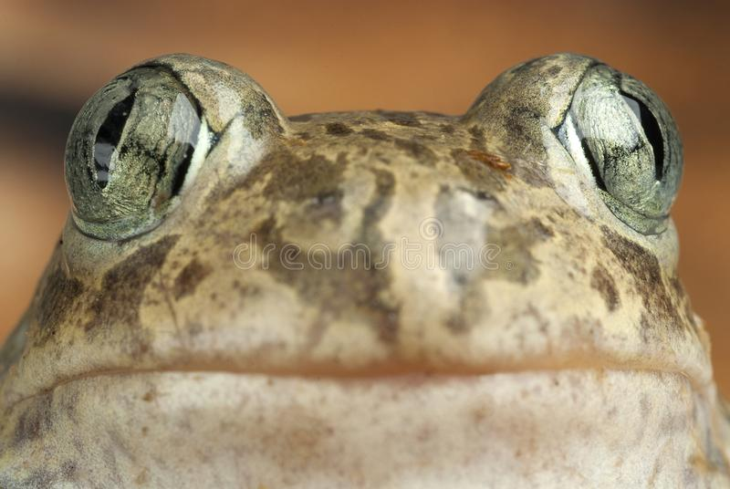 Spadefootpad, Pelobates cultripes, amfibie royalty-vrije stock foto's