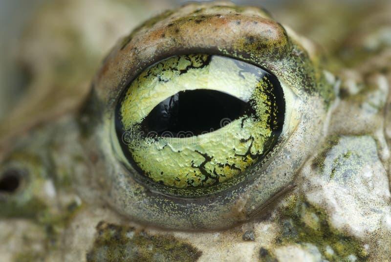 Spadefootpad, Pelobates cultripes, amfibie stock afbeelding