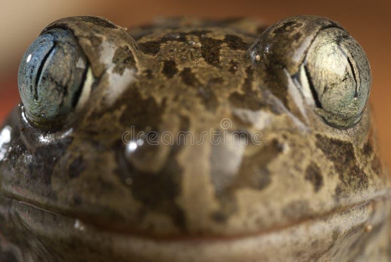 Spadefootpad, Pelobates cultripes, amfibie royalty-vrije stock afbeeldingen