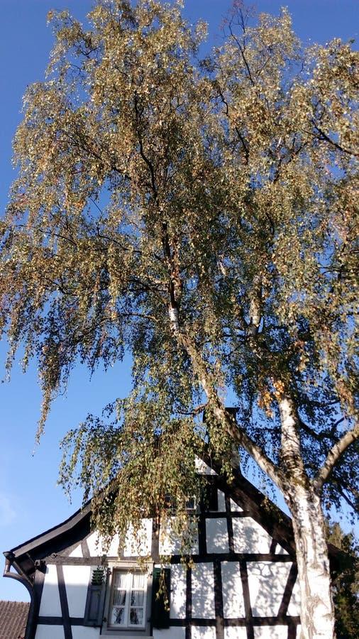 Spadek jesień Herbst Baum Birke zdjęcia stock