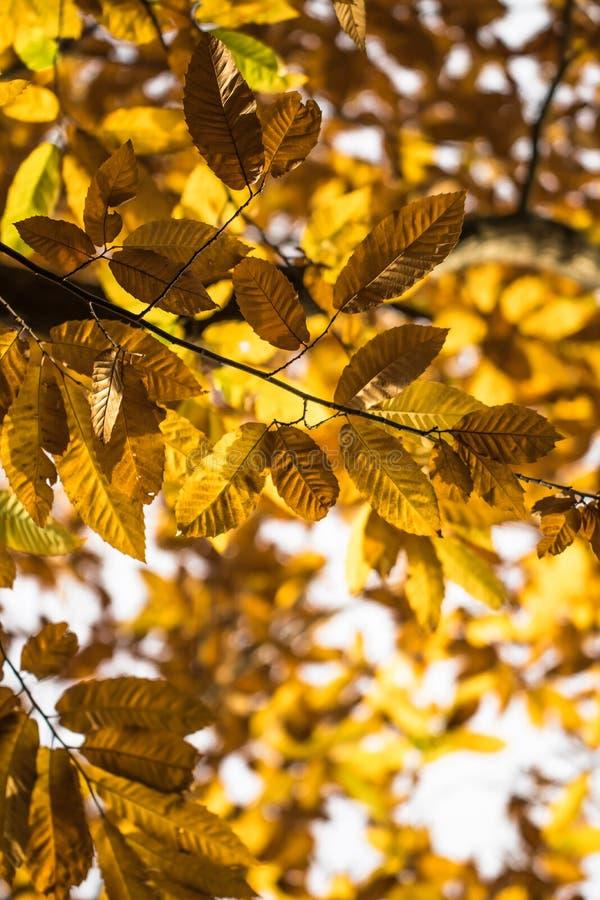 Spadek jesieni żółci pomarańczowi liście cisawy drzewo deseniują motyw zdjęcie stock