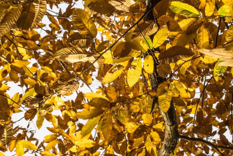 Spadek jesieni żółci pomarańczowi liście cisawy drzewo deseniują motyw zdjęcia royalty free