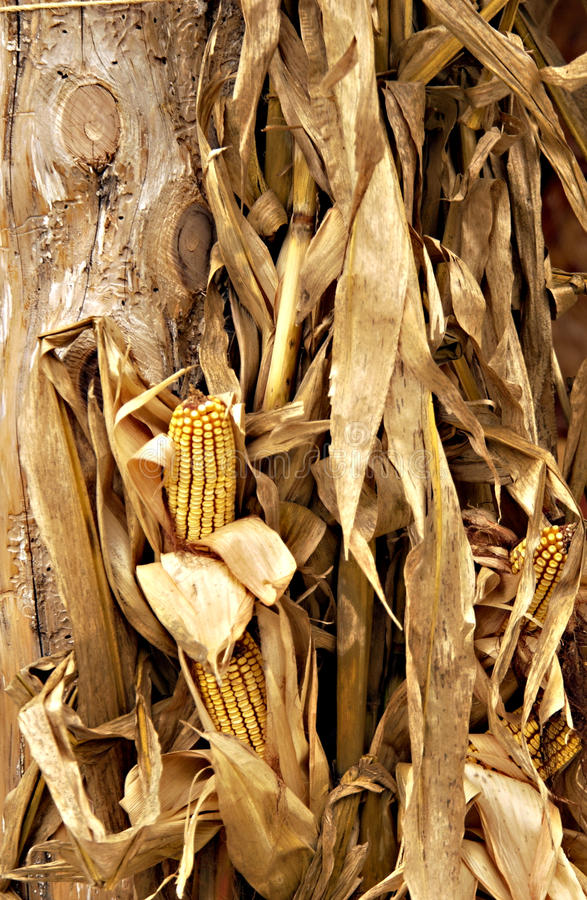Spadek kukurydzane plewy i wysuszona kukurudza obraz stock