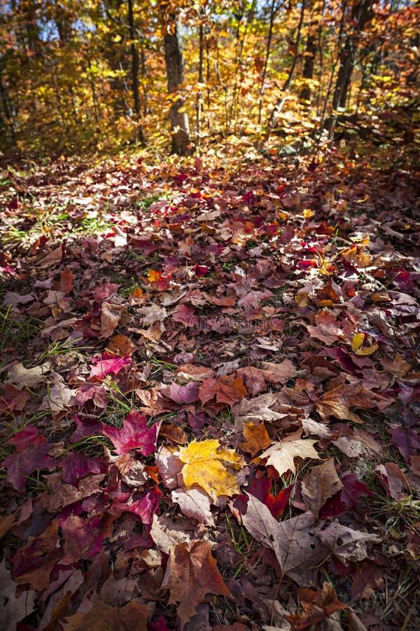 Spadek lasowa podłoga z jesień liśćmi klonowymi obraz royalty free